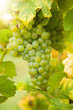 canvas print picture - White wine grapes on vineyard