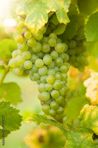 canvas print picture White wine grapes on vineyard