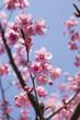 Obrazy na płótnie, fototapety, zdjęcia, fotoobrazy drukowane : ピンク色の桜