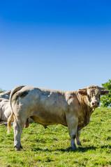 Bœuf charolais, taureau