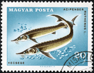stamp printed in Hungary (Magyar) shows sterlets