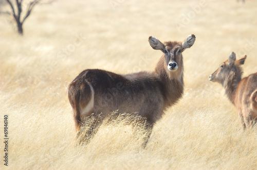 Fotobehang Antilope Waterbuck