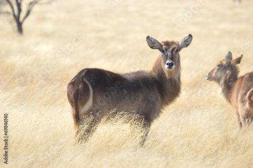 Staande foto Antilope Waterbuck
