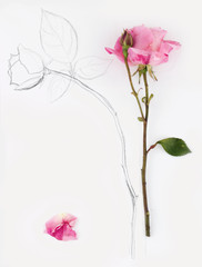 vertical image and hand drawn rose with petal on white paper