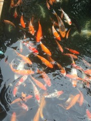 carps swimming in the pond