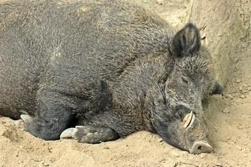 Schlafender Wildschweinkeiler