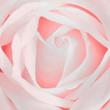 Obrazy na płótnie, fototapety, zdjęcia, fotoobrazy drukowane : Rose Rosa