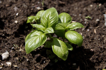 Cultivation of basil