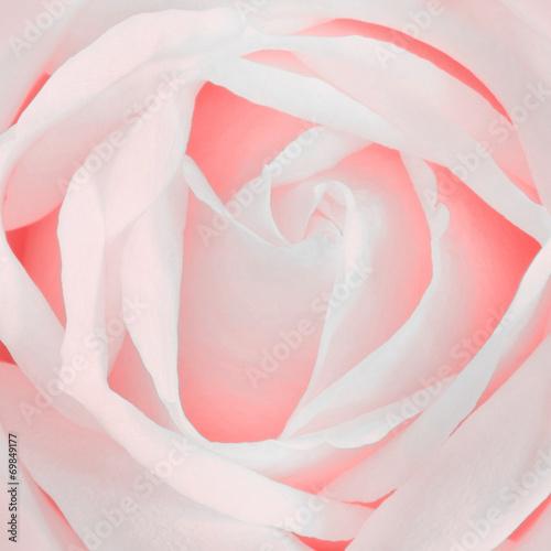 canvas print picture Rose Rosa