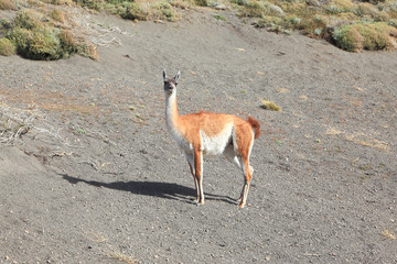 Gravel road and vicuna -  small camel