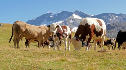 cattle in an alpine landscape