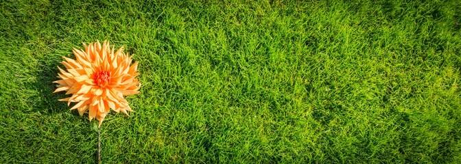 Dahlienblüte im Gras