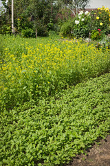 Green manure grow in the garden