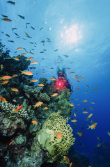Egypt, Red Sea, staghorn corals, fire coral and tropical anthias
