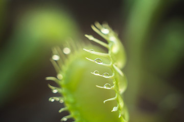 Carnivorous Dionea close up