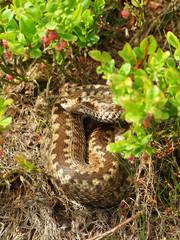 Hidden viper