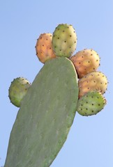 Prickly pear on a cactus. ( Cactus fig )
