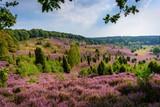 Fototapety Heideblüte im Totengrund bei Wilsede
