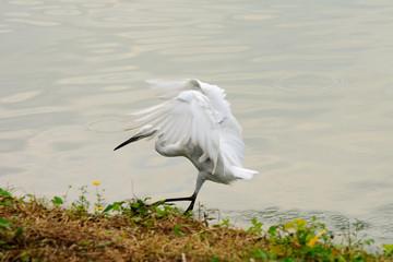 Garzetta in fase di atterraggio al lago