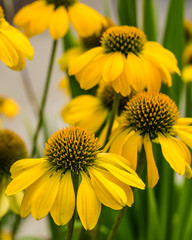 Yellow echinacea flowers in full bloom