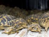 Crowd of smuggled Hermann's tortoises (Testudo hermanni)