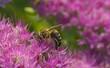 Obrazy na płótnie, fototapety, zdjęcia, fotoobrazy drukowane : Pszczoła miodna