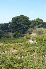 Le Castellet - Vignes