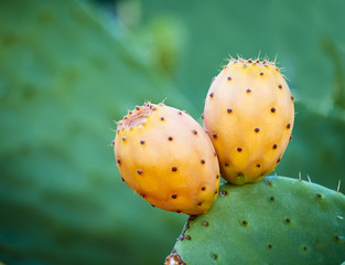 Prickly pear growing in the Mediterranean.