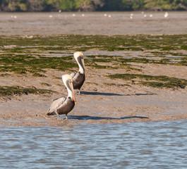Brown pelicans in a pair