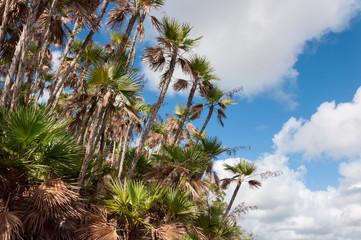 Bending palms in Everglades mahogany hammock