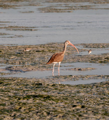 Ibis in brown plumage feeding on Everglades mudflats