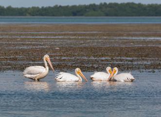 White pelicans feeding in Florida bay Everglades