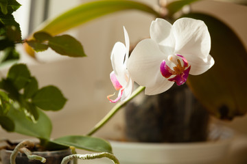 Phalaenopsis. White orchid flower indoor.