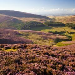 heather summer purple flower blooming Pentlands Scotland