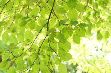 ミズキの葉