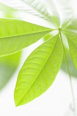 パキラの葉