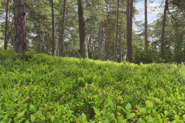 Blueberry sprigs, Vaccinium myrtillus in natural pine forest