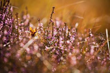 Scotland Pentlands Hill Pentland heather bloom macro