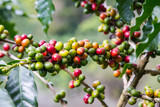 Fototapety Coffee beans growing on the branch