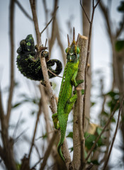 Chameleons male and female friendship and love
