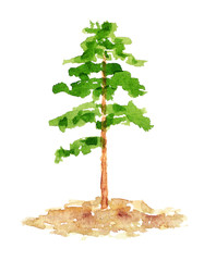 Watercolor Pine Tree, Hand Drawn and Painted, Isolated on White