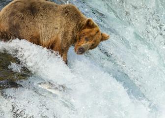 Grizzly mit Lachs auf Wasserfall in Alaska