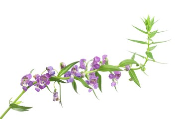 Angelonia goyazensis Benenth