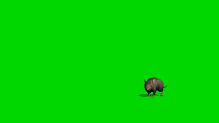 Gray rat runs at cam - green screen