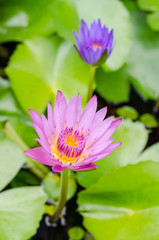 purple waterlily flower blooming in a green oasis.