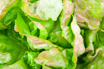 Green leaves of lettuce, food photo background