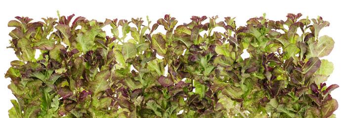 Vegetable salad  isolated border
