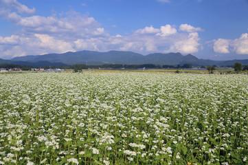 夏のそば畑の風景