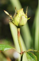 Green rose in the garden.