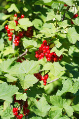 branch of red currants.